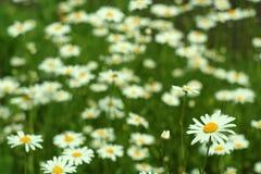 Fioritura Camomilla Campo di fioritura fiori su un prato di estate, fondo vago Fotografia Stock