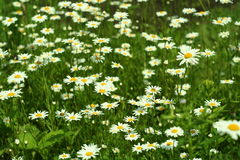 Fioritura Camomilla Campo di fioritura fiori su un prato di estate, fondo vago Fotografie Stock