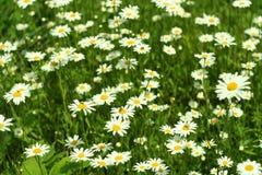 Fioritura Camomilla Campo di fioritura fiori su un prato di estate, fondo vago Immagine Stock Libera da Diritti