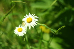 Fioritura Camomilla di fioritura nell'erba Priorità bassa vaga Fotografie Stock Libere da Diritti