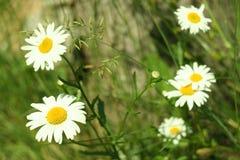 Fioritura Camomilla di fioritura vicino al ceppo di albero Priorità bassa vaga fotografia stock libera da diritti
