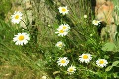 Fioritura Camomilla di fioritura vicino al ceppo di albero Priorità bassa vaga immagini stock libere da diritti