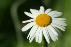 Fioritura Camomilla di fioritura vicino al ceppo di albero Priorità bassa vaga fotografie stock libere da diritti