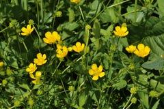 Fioritura Camomilla Il campo di fioritura della camomilla, camomilla fiorisce su un prato di estate Fotografia Stock