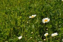 Fioritura Camomilla Il campo di fioritura della camomilla, camomilla fiorisce su un prato di estate Fotografia Stock Libera da Diritti