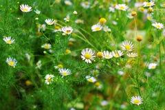 Fioritura Camomilla Il campo di fioritura della camomilla, camomilla fiorisce su un prato di estate, fuoco selettivo Fotografia Stock Libera da Diritti