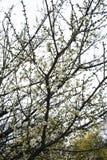 Fioritura cinese dei fiori della prugna Fotografia Stock Libera da Diritti