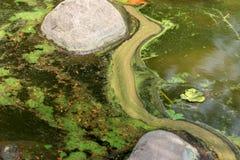 Fioritura d'alghe Fotografie Stock