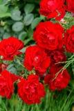 Fioritura decorativa rossa delle rose in un'aiola Fotografia Stock Libera da Diritti