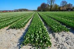 Fioritura dei campi del tulipano dello stato della lampadina Immagine Stock Libera da Diritti