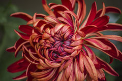 Fioritura dei crisantemi Fotografia Stock