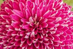 Fioritura dei crisantemi Fotografia Stock Libera da Diritti