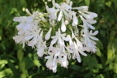 Fioritura dei fiori bianchi Fotografia Stock Libera da Diritti
