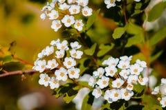 Fioritura dei fiori bianchi un albero in Frederik Meijer Gardens immagine stock libera da diritti