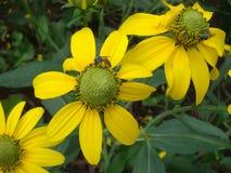 Fioritura dei fiori con i petali gialli che odorano come Immagine Stock Libera da Diritti