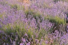 Fioritura dei fiori della lavanda Campo porpora dei fiori Fiori teneri della lavanda fotografie stock libere da diritti