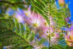 Fioritura dei fiori lanuginosi rosa Albition Fotografie Stock