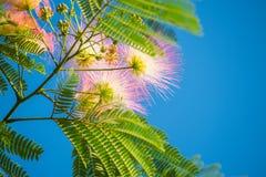 Fioritura dei fiori lanuginosi rosa Albition Immagini Stock