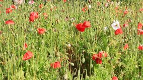 Fioritura dei fiori nel giardino stock footage