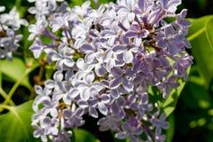 Fioritura dei lillà porpora fotografie stock libere da diritti