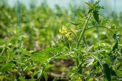 Fioritura dei pomodori negli stati della serra Immagine Stock Libera da Diritti