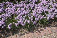 Fioritura dei senescens dell'allium Fotografia Stock