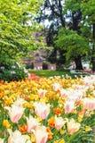 Fioritura dei tulipani Fotografia Stock