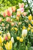 Fioritura dei tulipani Fotografia Stock Libera da Diritti