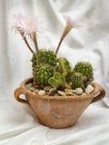 Fioritura del cactus Fotografia Stock Libera da Diritti
