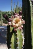 Fioritura del cactus fotografia stock