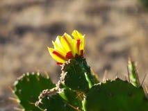 Fioritura del cactus Fotografie Stock Libere da Diritti