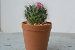 Fioritura del cactus bella e piacevole Immagine Stock