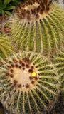 Fioritura del cactus di barilotto dorato Immagine Stock Libera da Diritti