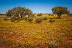 Fioritura del deserto immagini stock