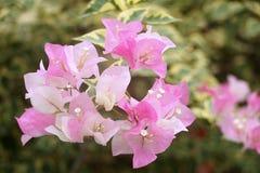 Fioritura del fiore Immagini Stock Libere da Diritti