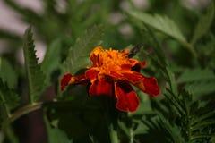 Fioritura del fiore fotografia stock libera da diritti