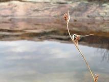 fioritura del fiore contro acqua fotografie stock libere da diritti