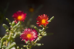Fioritura del fiore del cactus Fotografia Stock