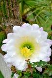 Fioritura del fiore del cactus Fotografie Stock Libere da Diritti