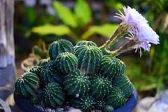 Fioritura del fiore del cactus di rosa di Echinopsis Fotografie Stock