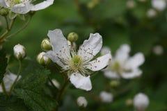 Fioritura del fiore del cespuglio di lampone nero fotografia stock libera da diritti