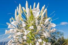 Fioritura del fiore del Cleome Immagini Stock