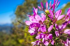 Fioritura del fiore del Cleome Fotografie Stock Libere da Diritti