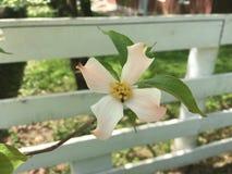 Fioritura del fiore del corniolo sul recinto bianco Fotografia Stock