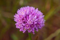 Fioritura del fiore dell'allium Fotografie Stock Libere da Diritti