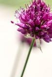 Fioritura del fiore dell'allium della bacchetta Immagini Stock Libere da Diritti