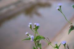 Fioritura del fiore dell'erba fotografia stock