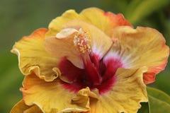 Fioritura del fiore dell'ibisco Immagine Stock