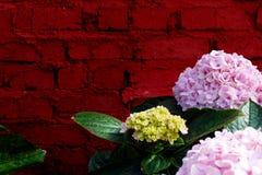 Fioritura del fiore dell'ortensia piena Fotografia Stock