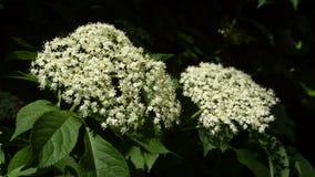 Fioritura del fiore della bacca di sambuco (nigra del Sambucus) Immagine Stock Libera da Diritti